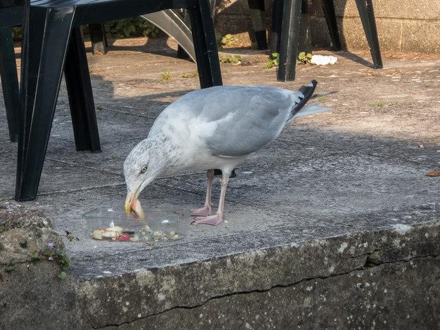 Young Herring Gull, Beer, Devon