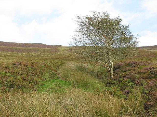 Lone rowan tree near Gairs