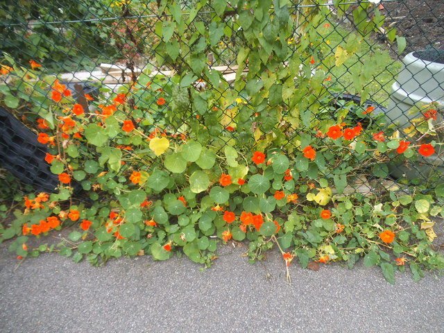 Flowers by Gordon Road, Finchley