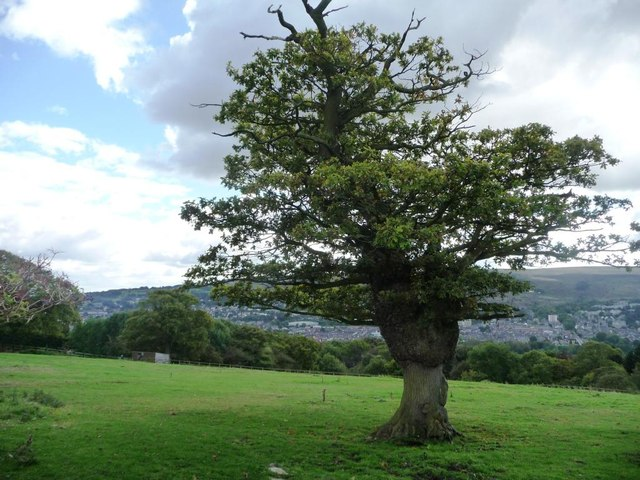 Oak tree south of Slates Lane, above Ilkley