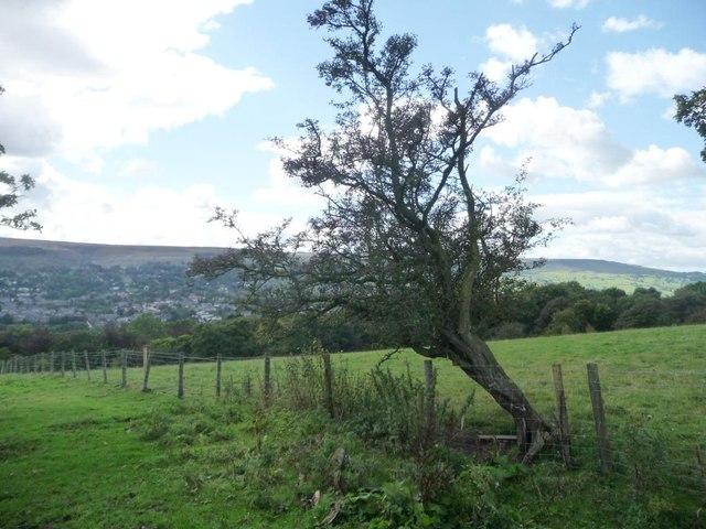 Thorn tree south of Slates Lane, above Ilkley