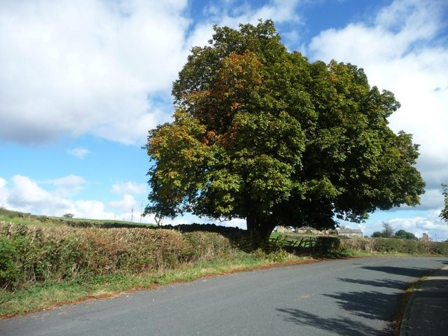 Horse chestnut tree, Middleton