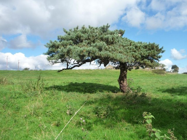 Pine tree, north side, Slates Lane, Middleton