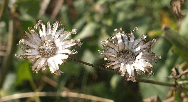 Greater knapweed near Quantock's Head