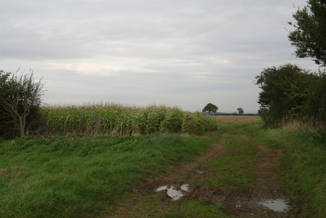 Maize belt by the bridleway to Badger Hills