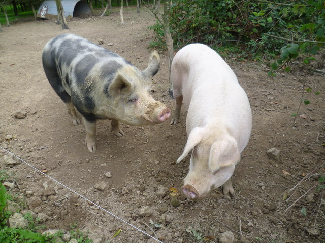Pigs by the Greensand Way