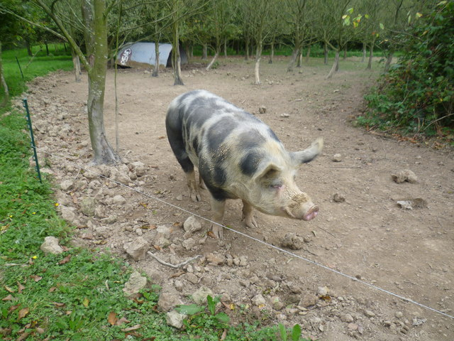 Pig by the Greensand Way