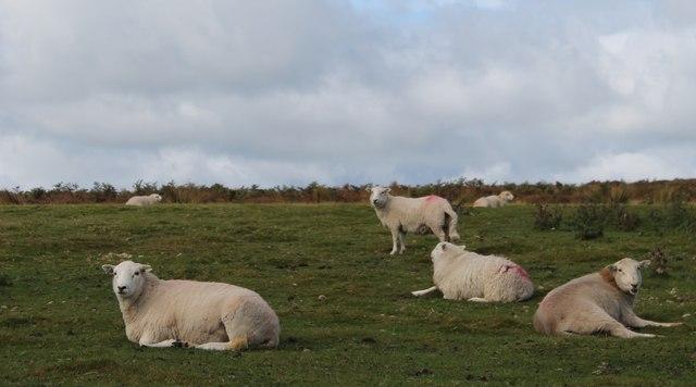 Sheep on 'The Long Mynd'
