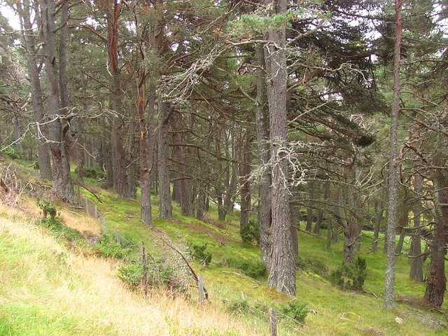 Pines, Baddengorm Wood