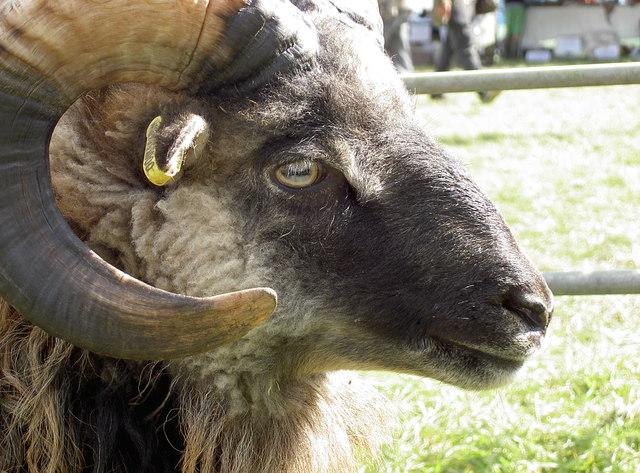 Ram in the pen