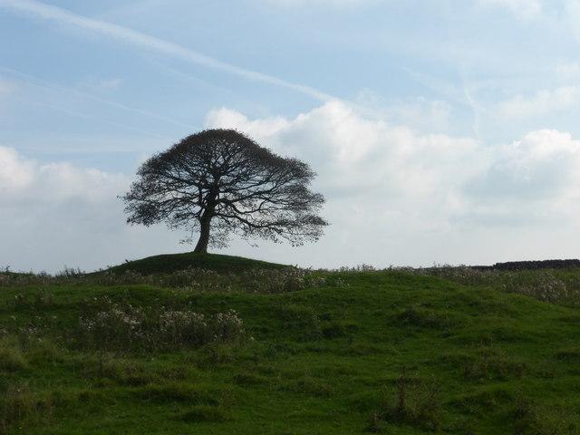 Solitary tree on Grindon Moor