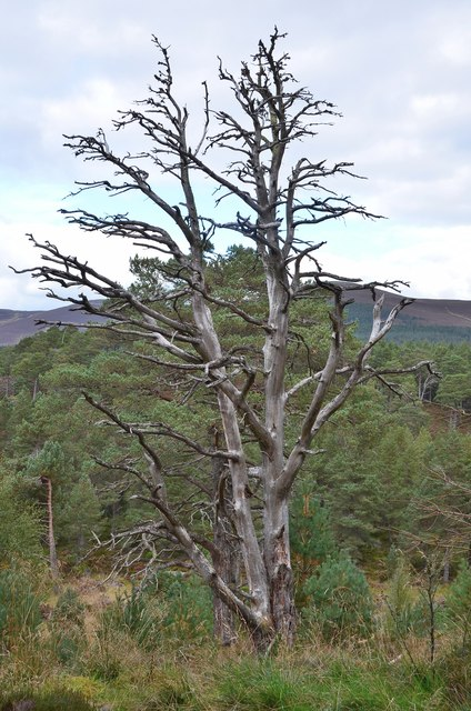 Dead tree, Glen More Forest