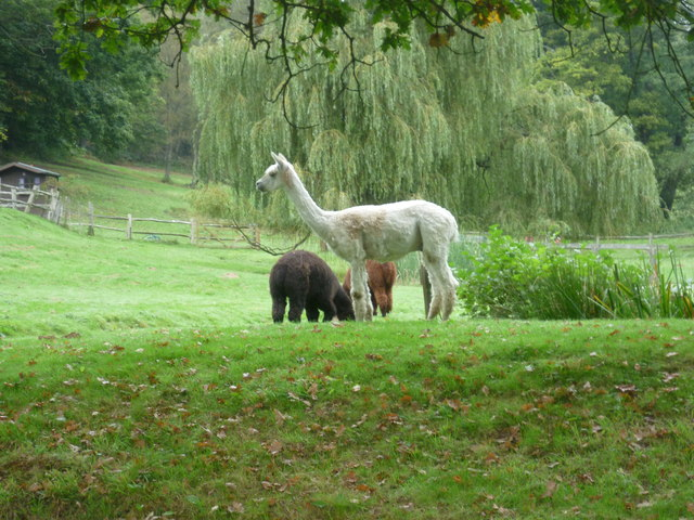 Alpacas next to the Tunbridge Wells Circular Walk