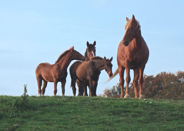 Galloway Horses 1