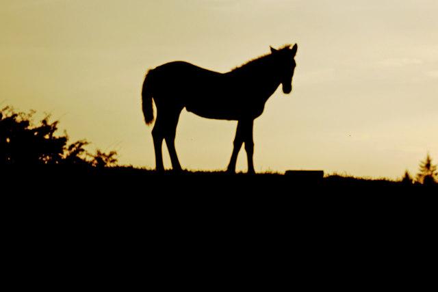 Galloway Horses 3