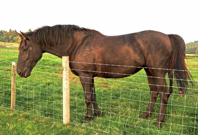 Galloway Horses 4