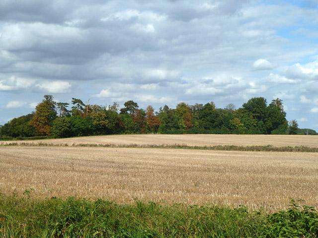 Trees along Little Canfield - Bamber's Green lane