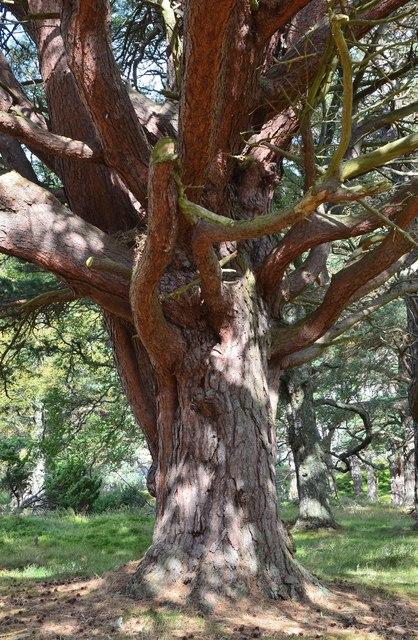 Old Scots pine, Glen Feshie