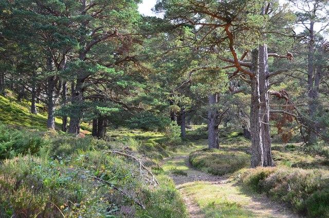 Track through pine woods, Glen Feshie