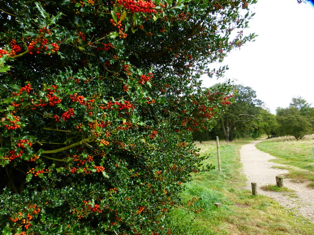 Path from parking area with berry-laden holly bush