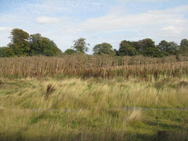 Giant Hogweed gone to seed