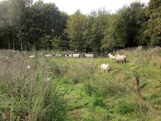 Sheep, Sodbury Camp