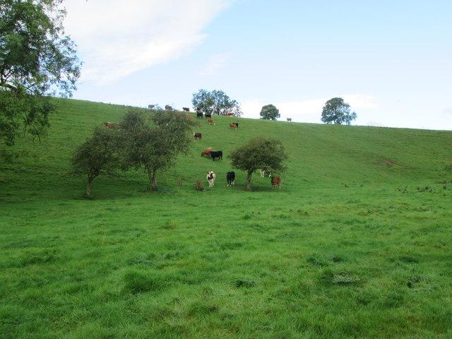 Beef  cattle  in  Sawdon  Dale