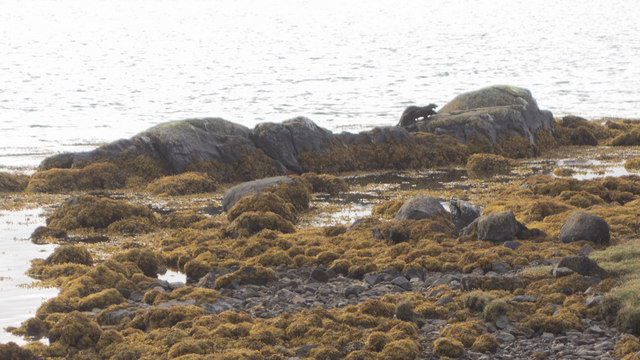 Otters on the rocks at Malacleit