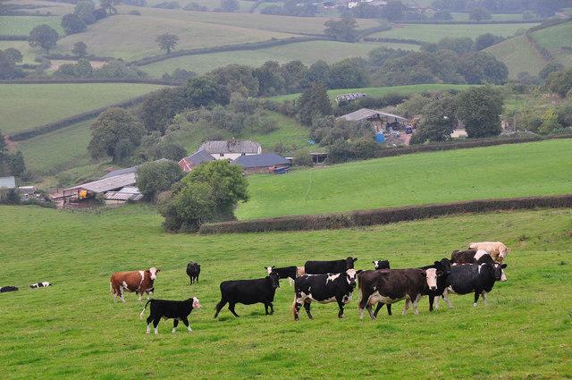 Mid Devon : Grassy Hillside & Cattle
