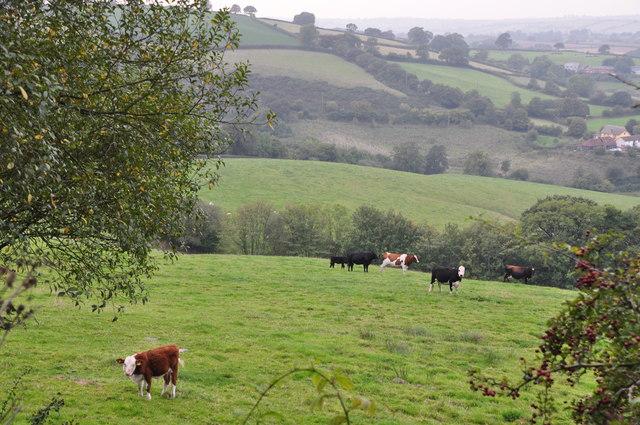 Mid Devon : Grassy Field & Cattle