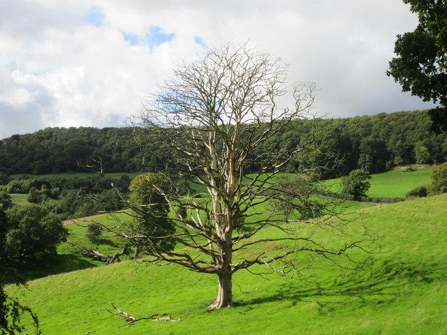 Impressive  dead  tree  in  Trouts Dale