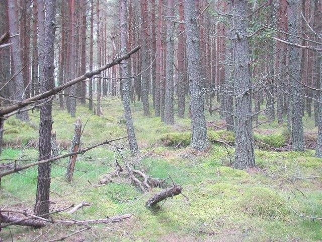 Pine forest, Muir of Alvie