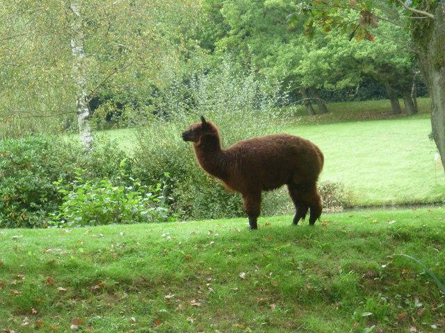 Alpaca seen from the Tunbridge Wells Circular Walk