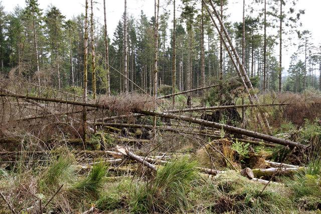 Fallen Larch trees
