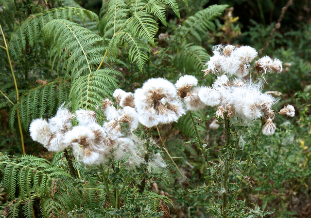 Thistledown and Ferns