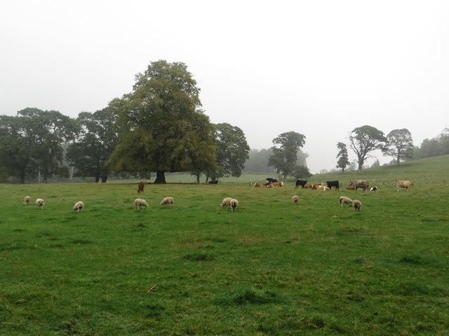 Livestock grazing parkland at Duns Castle