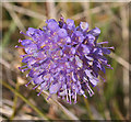 NJ1924 : Devil's Bit Scabious (Succisa pratensis) by Anne Burgess