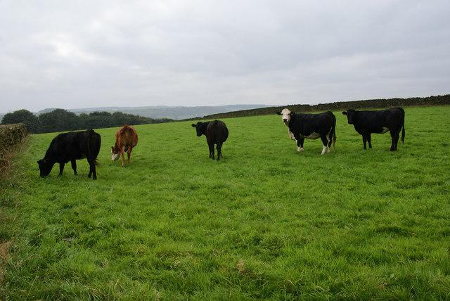 Cows above Holmfirth