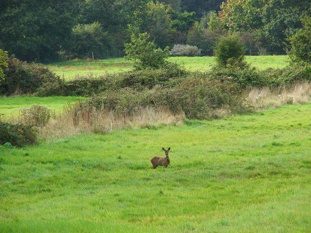 Deer in the fields