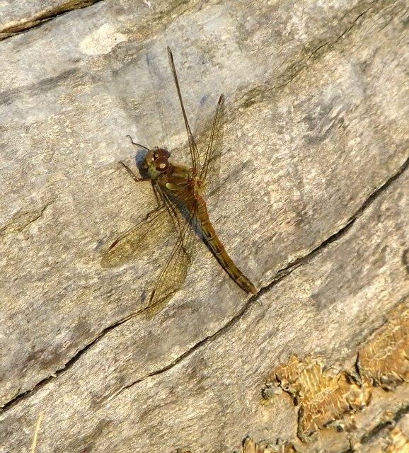 Dragonfly on a chestnut log, Lawn Field