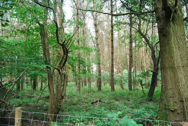 Conifers near Chartners Farm