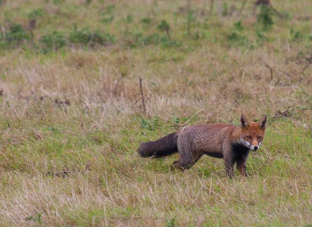Fox at RSPB Saltholme
