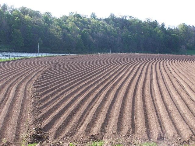 Ridged potato field