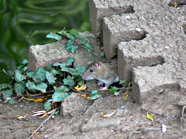Rat near the duck pond, Cantilupe Street, Hereford