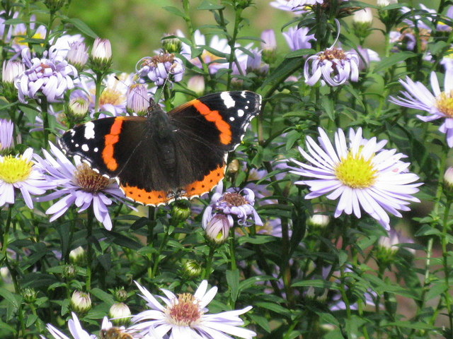 Red Admiral in the Hermitage of Braid