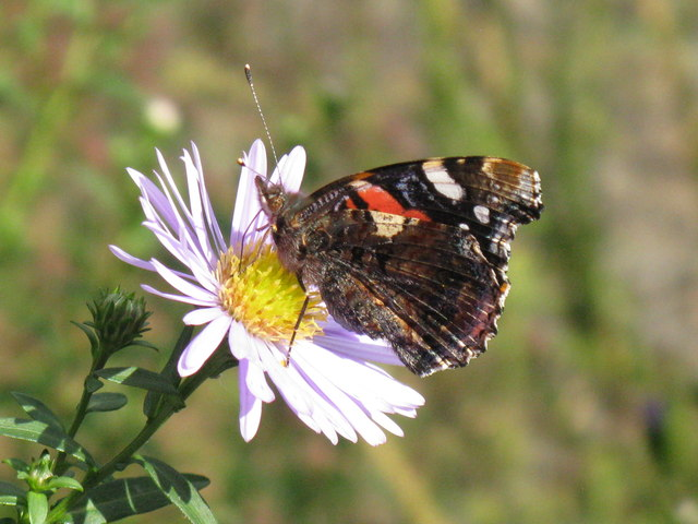 Red Admiral - underwing pattern