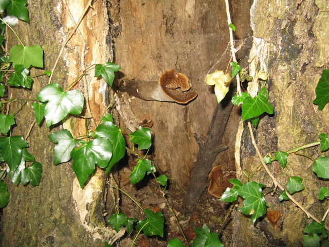 Fungus in a hollow tree stump