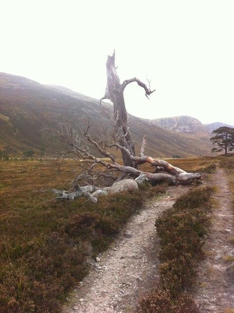 Dead Pine in Glen Derry