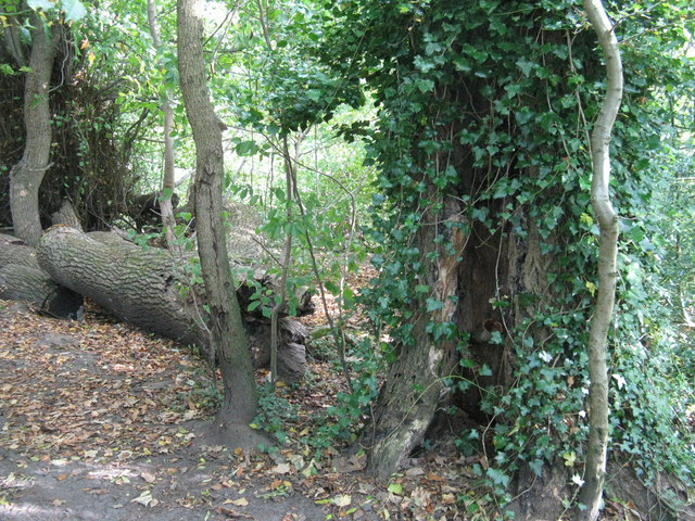 Fallen tree in the Hermitage of Braid