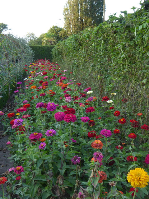 A colourful display of Zinnias in the kitchen garden at Heligan